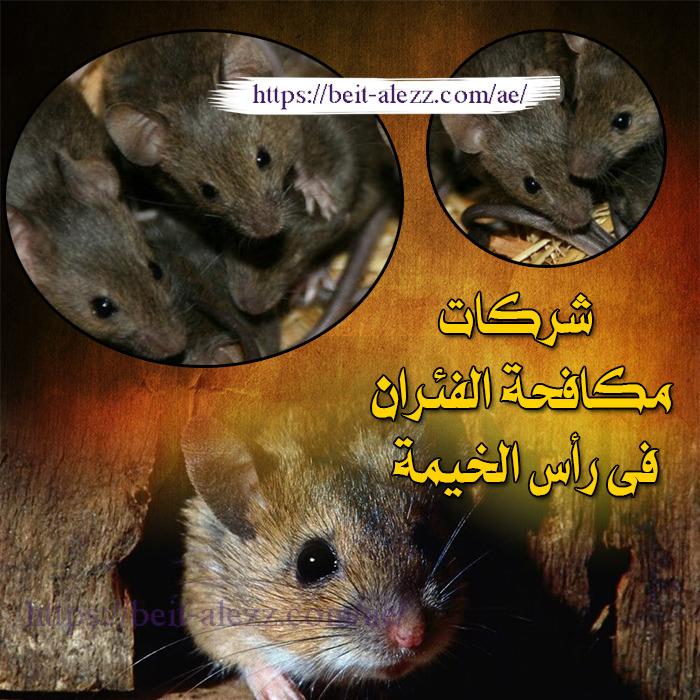 شركات مكافحة الفئران رأس الخيمة