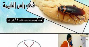 شركة مكافحة الصراصير براس الخيمة